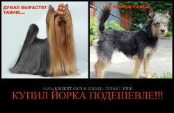мини собачки той-терьер вязка -обмен Полтава